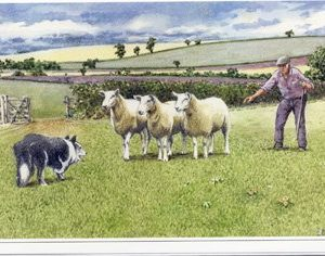 Rounding up the Sheep - Happy Birthday